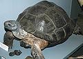 Chelonoidis nigra (Galapagos giant tortoise) (15101211644).jpg