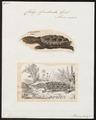Chelys fimbriata - 1700-1880 - Print - Iconographia Zoologica - Special Collections University of Amsterdam - UBA01 IZ11600149.tif
