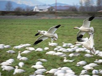 Snow goose - Wintering snow geese on Fir Island, Washington