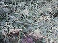 ChenopodiumAlbum3.jpg