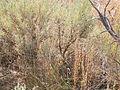 Chenopodium leptophyllum (3940147850).jpg