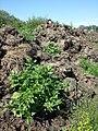 Chenopodium rubrum (s. str.) sl19.jpg