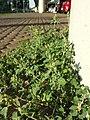Chenopodium vulvaria sl10.jpg