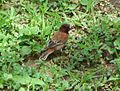 Chesnut Sparrow. Passer eminibey - Flickr - gailhampshire.jpg