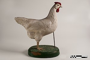 Chicken - Didactic model of a chicken.