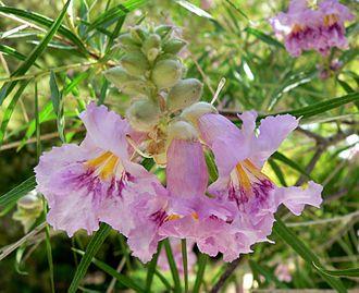 Chilopsis - Image: Chilopsis linearis flower 2
