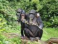 Chimpanzees Chester Zoo.jpg
