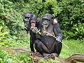 Chimpanzees Chester Zoo.jpg