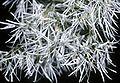 Chionanthus virginicus USDA.jpg