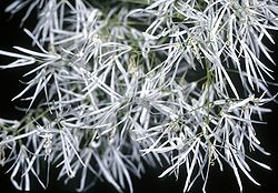 meaning of chionanthus