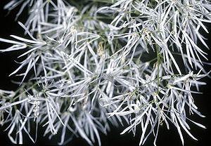 Chionanthus - Chionanthus virginicus flowers