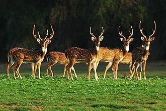 Telangana - Chital