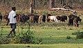 Chitwan-04-Rinder-2013-gje.jpg