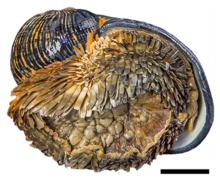 Apertural view of a dark globose shell. There is a foot extended from the aperture. The foot is covered by dark scales.