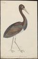 Ciconia nigra - 1743-1817 - Print - Iconographia Zoologica - Special Collections University of Amsterdam - UBA01 IZ17600039.tif