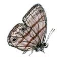 Cissia terrestris.png