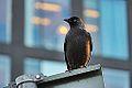 Citybird (10746580516).jpg