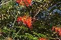 Clavellina (Caesalpinia pulcherrima) (14999693942).jpg