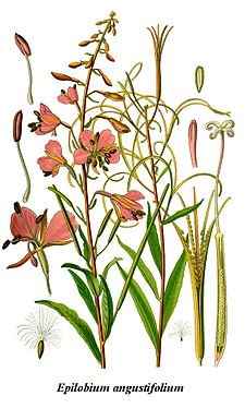 Cleaned-Illustration Epilobium angustifolium.jpg