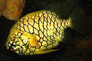 Cleidopus gloriamaris