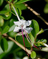 Clerodendrum inerme (Seaside Clerodendrum) in Hyderabad, AP W IMG 8993.jpg