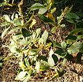 Clethra alnifolia BotGardBln0906b.jpg