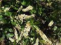 Clethra alnifolia summersweet flowers.JPG