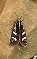 Clicking Forester Aegocera bimacula by Dr. Raju Kasambe DSCN6647 02.jpg