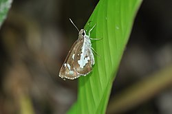 Close wing position of Udaspes folus Cramer, 1775 – Grass Demon WLB DSC 019 1.jpg
