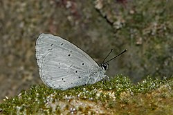Close wing posture Basking of Celastrina gigas (Hemming, 1928) – Silvery Hedge Blue WLB DSC 8891.jpg