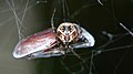 Cobweb Spider (Theridiidae) - MacGregor Point Provincial Park 02.jpg