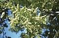 Coccloba diversifolia. Matthewtown. (24999102308).jpg