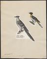 Coccystes glandarius - 1809-1845 - Print - Iconographia Zoologica - Special Collections University of Amsterdam - UBA01 IZ18800259.tif