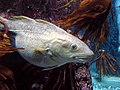 Cod at MacDuff Aquarium by Bruce McAdam.jpg