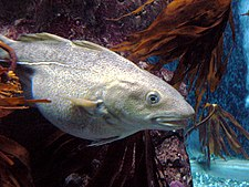 Cod at MacDuff Aquarium by Bruce McAdam.jpg