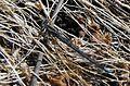 Coenagrionidae-unknown.jpg