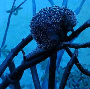 Brazilian porcupine - Image: Coendou prehensilis 2 Buffalo Zoo