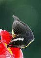 Coereba flaveola d2.jpg