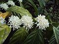 Coffea canephora 6.JPG