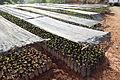 Coffee seedlings produced by Asencio Sánchez (5662148216).jpg