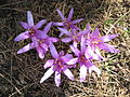 Colchicum bulbocodium5.jpg