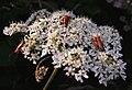Coleoptera - Rhagonycha fulva (3155769773).jpg