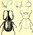 Coleoptera - general introduction and Cicindelidae and Paussidae (1912) (14598313968).jpg