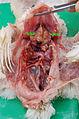Colibacilôze pericorite al fibrene fritches.jpg