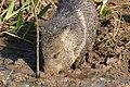 Collared Peccary (Pecari tajacu) male (28556435606).jpg