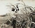 Collectie Nationaal Museum van Wereldculturen TM-60062019 Suikerrietoogst Barbados fotograaf niet bekend.jpg