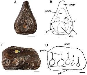 Coloborhynchus - Holotype of C. clavirostris