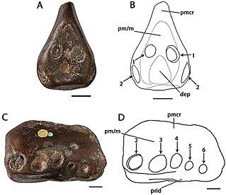 <i>Coloborhynchus</i> genus of reptiles (fossil)