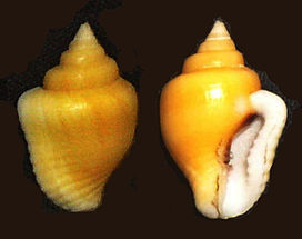 Columbella sp.jpg