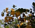Colutea cilicica - Floraison-2.jpg